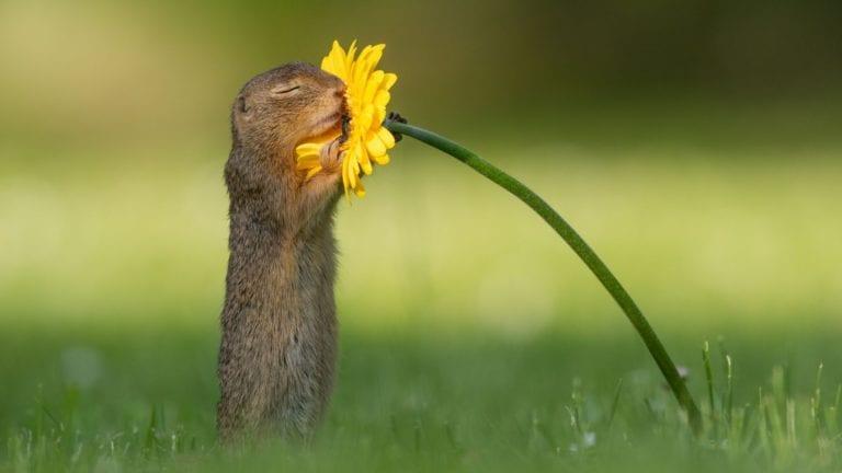 """Veverița """"îndrăgostită"""".Un fotograf surprinde momentul in care o veverița curioasă se oprește să miroasă o floare"""