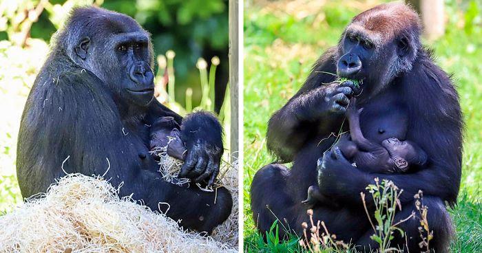 Mama Gorilă care și-a pierdut primul-născut în urmă cu 1 an, este fotografiată legănându-și bebelușul de o lună
